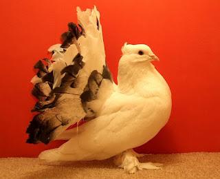 http://mundoanimalevidaselvagem.blogspot.com/ Pombo rabo-de-leque ( Indian Fantail) É uma das mais populares raças de pombo. É de origem indiana. Seu nome é dado por causa da sua cauda em forma de leque, que tem entre 30 e 40 penas. Diferente dos demais pombos que tem de 12 a 14.