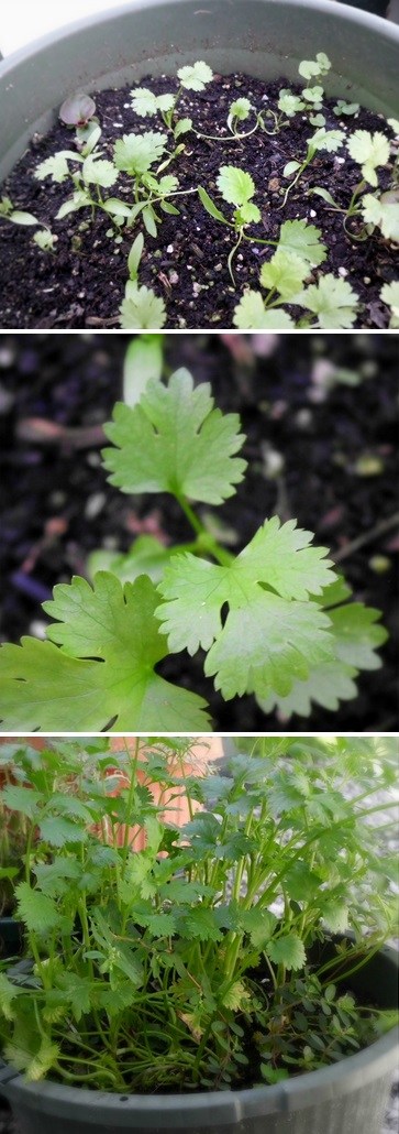 Growing Cilantro In Containers