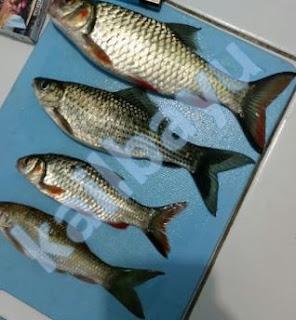 ikan derbang besar