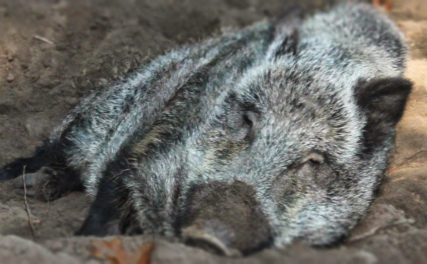 wild schwein gulasch