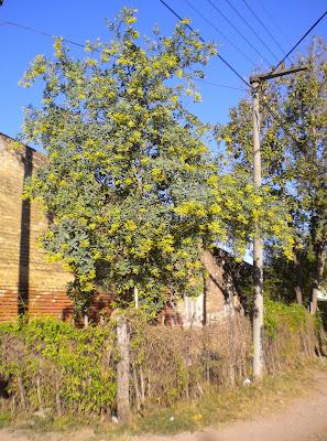 Palán-palán Nicotiana glauca