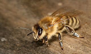 best bees for beginners