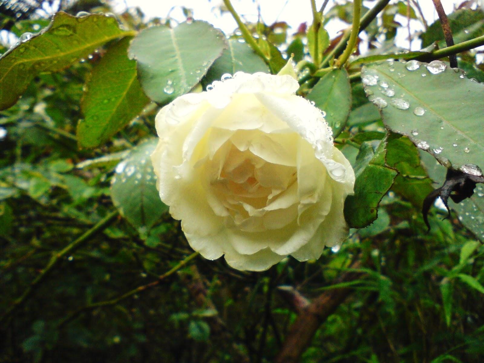 Ý nghĩa của hoa hồng trong tình yêu. Nghệ thuật cắm hoa hồng. Ý nghĩa của những bông hoa hồng. Những mẫu hoa hồng cầm tay. Nghệ thuật cắm lẵng hoa hồng
