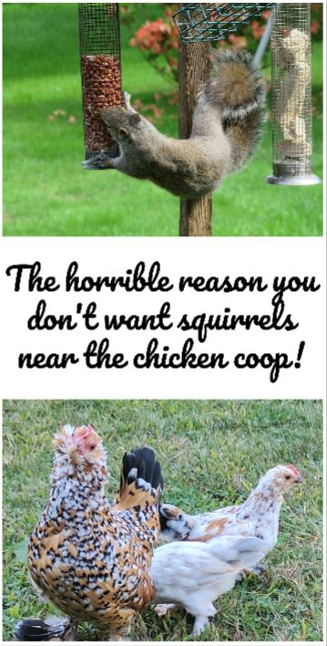 Why you don't want squirrels near your chickens (it's really