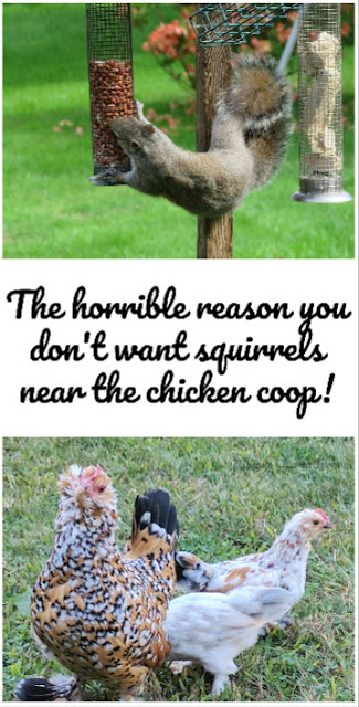 keep squirrels away from chickens