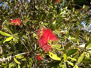 Melaleuca citrina, Escobillon rojo, Bottlebrush