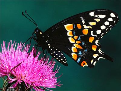 Imagen mariposa negra de hermosos colores