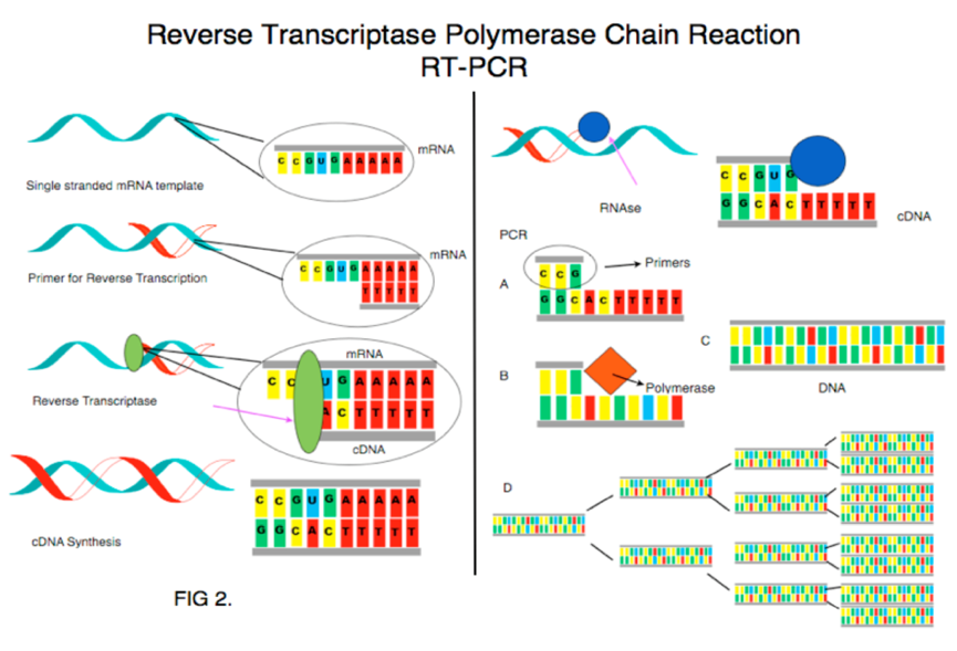 Ten Giga Bio : RT-PCR vs. Real-time PCR 還在傻傻分不清楚?