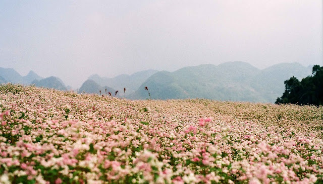 Festival circuit triangle flower in Ha Giang 4