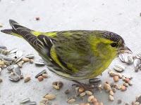 Yerden yem ve çekirdek yiyen bir iskete kuşu