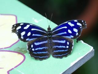 Myscelia cyaniris - Cybdelis cyaniris