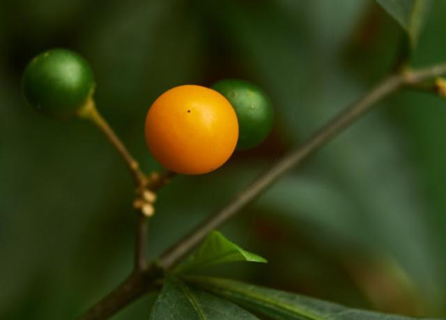 berries,three,orange,green