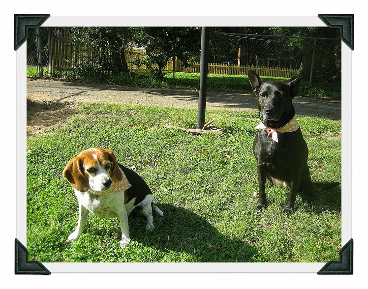 Beagle Dog Rescue Maryland