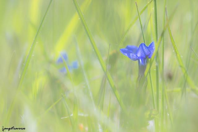 flore des alpes, flowers, gentiane, gentiane printanière, fleurs des alpes, fleur, nature