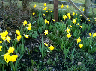 daffodils, why to plant, gardening, life on pig row