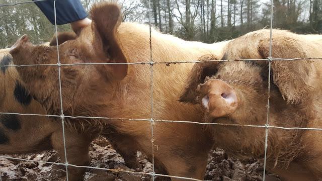 Rescue Piggies
