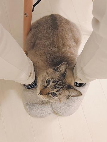飼い主の足の間で丸くなってるシャムトラ猫