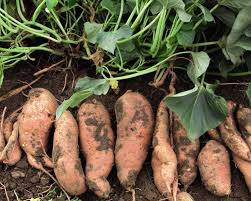 Sweet Potatoes The Garden Gate Miz Helen's Country Cottage