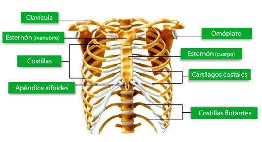 El Sistema Seo Huesos Del Tronco