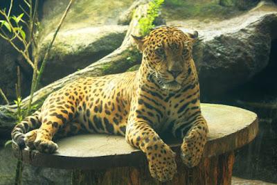 Jaguar en Costa Rica