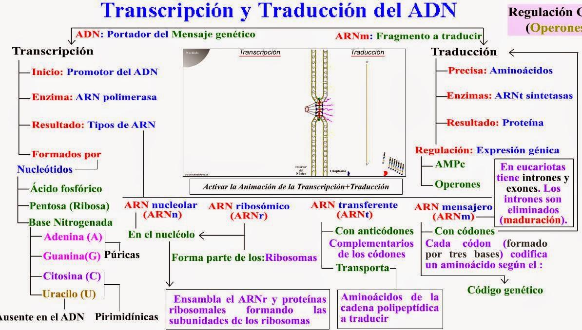 TRANSCRIPCION DEL ADN PASO A PASO EBOOK