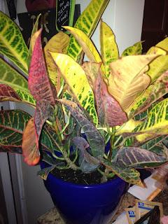 Croton Plant Care Houseplant Care Tips