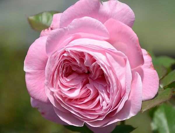 Rosengrafin Marie Henriette роза  фото сорт