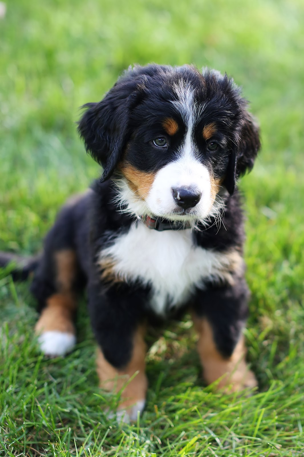 Bucks County Bernese: Photos
