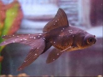 A leggyakoribb halbetegségek, amit egy akvaristának ismernie kell - Gondozás
