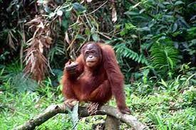Orang Hutan Yang Terdapat di Pusat Hidupan Liar Semenggoh