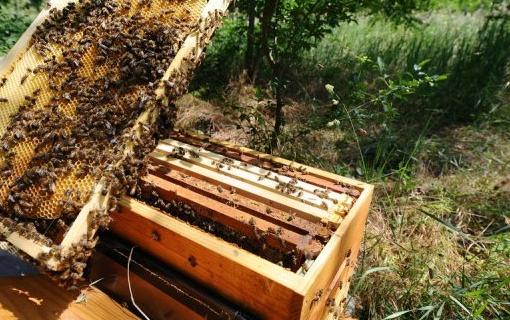 Μια μικρή παραφυάδα με υψηλές προοπτικές: Δείτε γέννα. Μόνο για «παλιούς» μελισσοκόμους VIDEO
