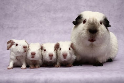 Guinea Pig breed information