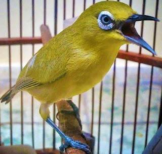 Proses Perawatan Harian Burung Pleci Agar Cepat Gacor Paling Akurat