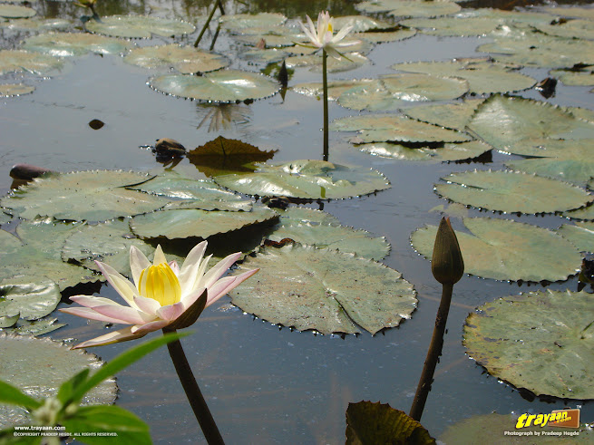 Waterlilies, in a little pond by a road