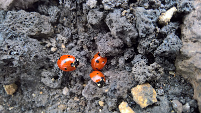 Ladybugs huddling in the lava on the Serracozzo