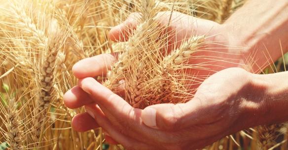 Resultado de imagem para imagens colheita de trigo