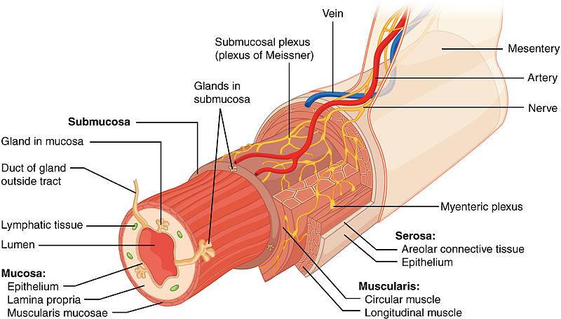 Fisiología del sistema digestivo: procesos, peristaltismo, fases ...