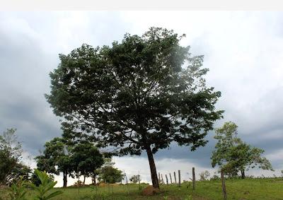 Árvore do Cerrado do fruto banha-de-galinha