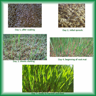 growing fodder, how to grow fodder, growing barley, alfalfa, oats, fodder for farm animals, cheap way to feed farm animals, frugal farming tips