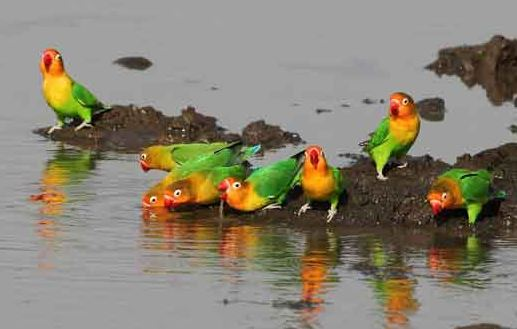 Perawatan Burung Lovebird biar Gacor
