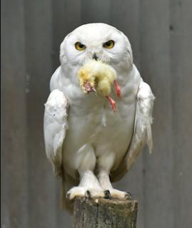 makanan burung hantu