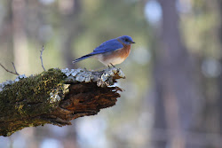 A Bluebird Friend: