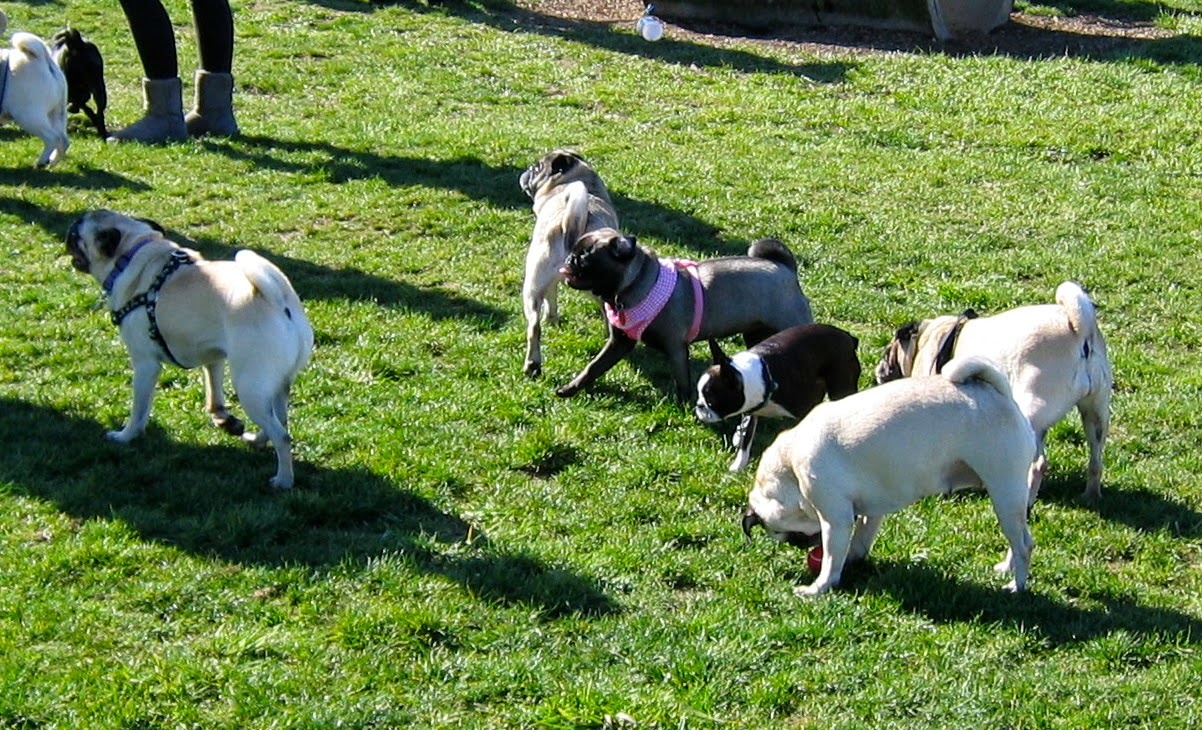 A group of pugs with Sienad in the middle