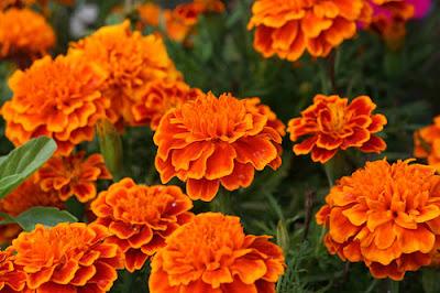 marigolds eugenia collier essay writer