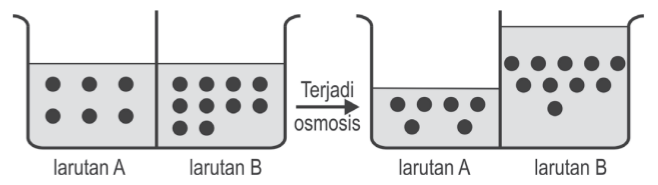 Model percobaan osmosis
