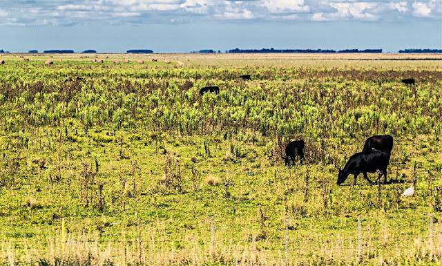 Vacas pastando a campo abierto