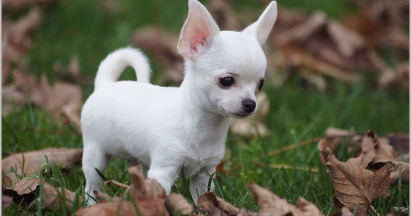 All About Dogs Images: White Chihuahua Puppies For Sale