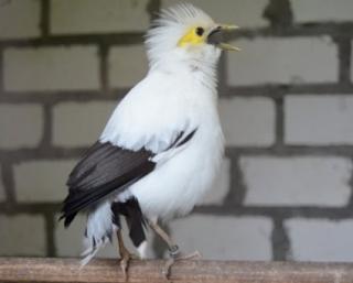 Cara Merawat dan Makanan Untuk Burung Jalak Putih