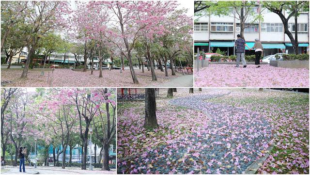 台中東區大智公園-洋紅風鈴木花毯