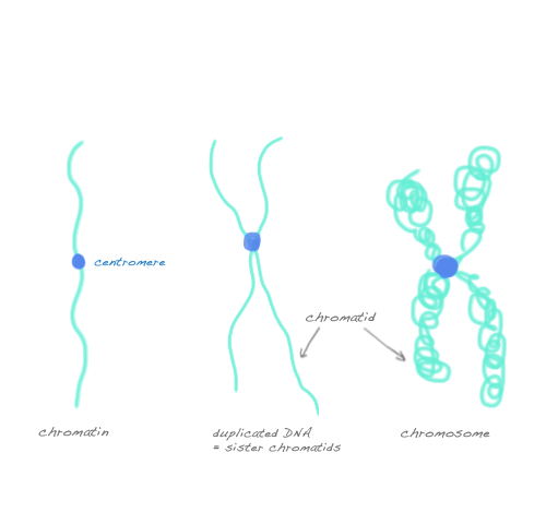 litebiology: The difference between chromatin, chromatid and